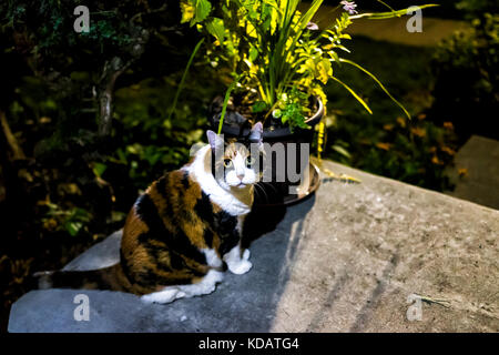 Closeup of calico cat on front porch of house, home outside during dark night evening - Stock Photo