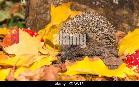 Hedgehog, (Erinaceus europaeus) Wild, European Hedgehog in Autumn with Red Toadstools and bright yellow leaves. - Stock Photo
