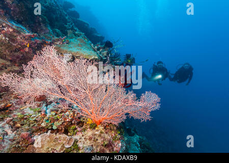 Divers looking at colourfal sea fans at St Crispins Reef, Great Barrier Reef Marine Park, Port Douglas, Queensland, - Stock Photo
