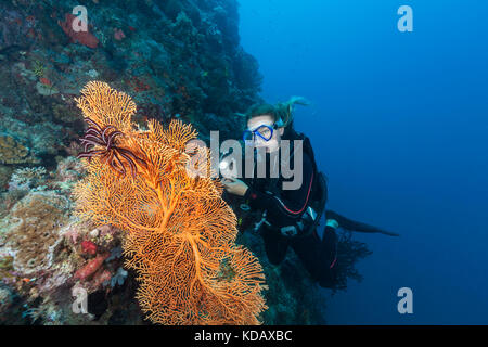 Diver looking at colourfal sea fans at St Crispins Reef, Great Barrier Reef Marine Park, Port Douglas, Queensland, - Stock Photo