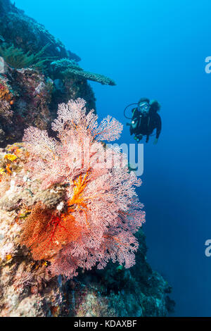 Divers looking at colourfal sea fans at St Crispins Reef, Great Barrier Reef Marine Park, Port Douglas, Queensland, Australia