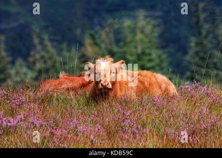 Highland cattle in Scotland, Highlands - Stock Photo