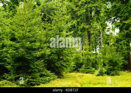Green spruces in evergreen coniferous forest. Young picea abies trees growing in woodland in Owl Mountains Landscape - Stock Photo