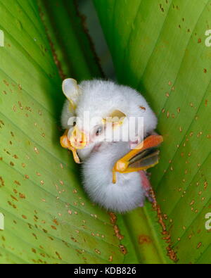 Mother and baby Honduran white bats, Ectophylla alba, sheltered under a heliconia plant leaf. - Stock Photo