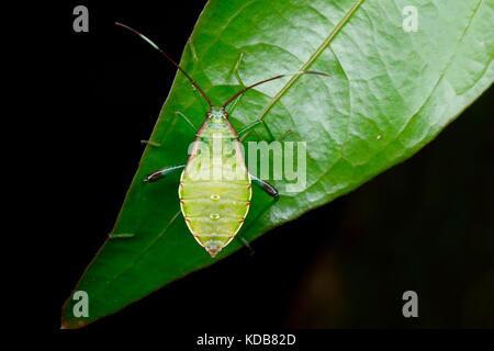 A nymph squash bug species crawling on a leaf. - Stock Photo