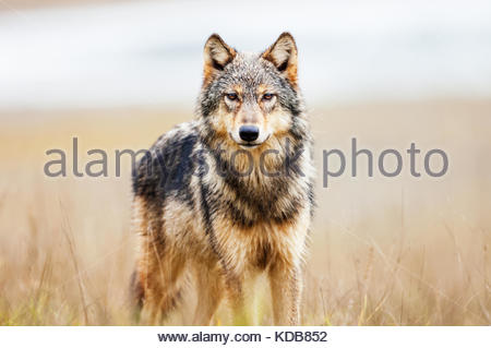 Young coastal wolf, canis lupus, in a river estuary. - Stock Photo