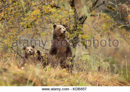 A mother grizzly bear, Ursus arctos, with two yearling cubs, under a crabapple tree. - Stock Photo