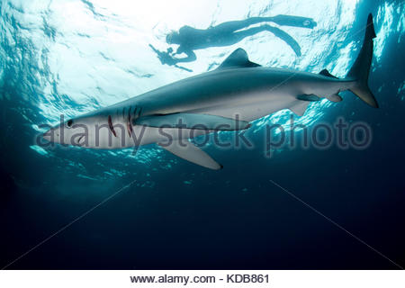 A diver swims above a blue shark, Prionace glauca. - Stock Photo