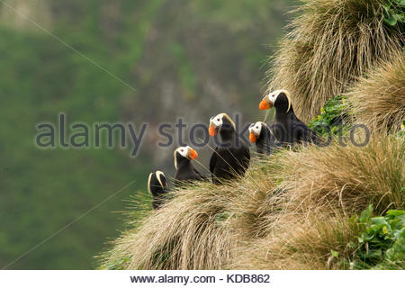 A group of tufted puffins, Fratercula cirrhata, sit in front of their burrows. - Stock Photo