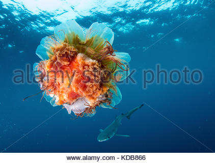 A prowfish, Zaprora silenus, hides from a blue shark, Prionace glauca, in a lion's mane jellyfish, Cyanea capillata. - Stock Photo