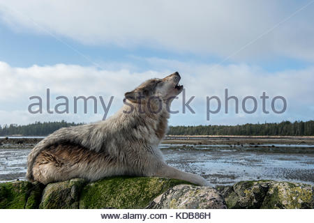 A coastal wolf, Canis lupus, howls on a beach at low tide. - Stock Photo