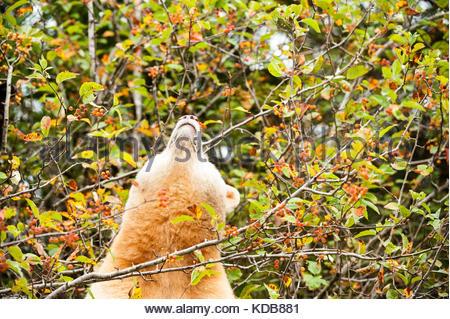 A spirit bear, Ursus americanus kermodei, looks up at a cluster of ripe crabapples. - Stock Photo