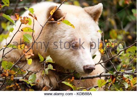 A spirit bear, Ursus americanus kermodei, grazes on ripe crabapples in the fall. - Stock Photo