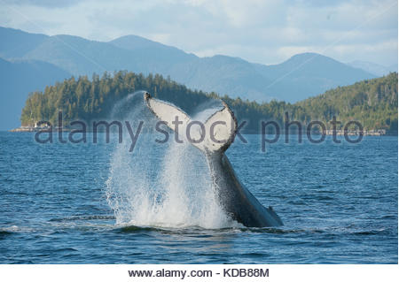 A humpback whale, Megaptera novaeangliae, slapping its tail in British Columbia's inside passage. - Stock Photo