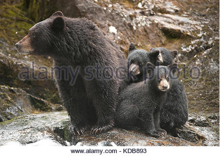 A mother black bear, Ursus americanus, and her three young cubs at a salmon-filled waterfall. - Stock Photo