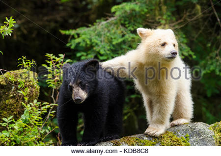 A spirit bear cub, Ursus americanus kermodei, with an arm across its black sibling, Ursus americanus. - Stock Photo