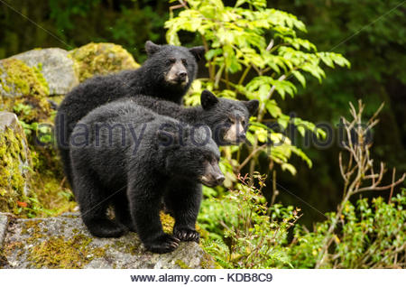 Three black bear cubs, Ursus americanus, standing on a rock. - Stock Photo