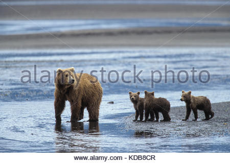 A mother grizzly bear, Ursus arctos, and her three yearling cubs, on a beach. - Stock Photo