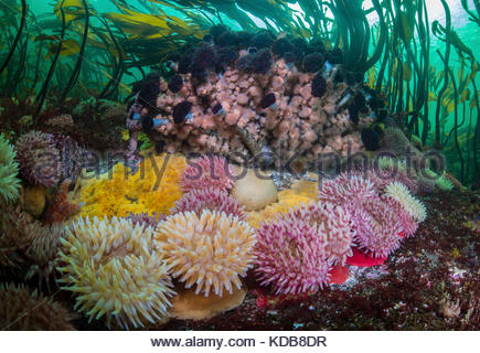 Anemones, sea stars, and Northern featherduster worms, Eudistylia vancouveri, in a kelp forest in the Great Bear - Stock Photo
