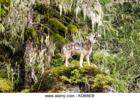 A coastal wolf stands on a bed of moss and howls. - Stock Photo