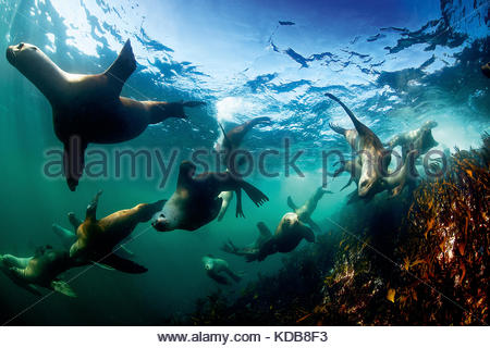 A group of Steller's sea lions, Eumetopias jubatus, swimming in the Great Bear Sea. - Stock Photo