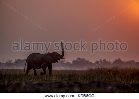An Elephant, Loxodonta africana, smelling the air as it walks through the reeds at sunset. - Stock Photo