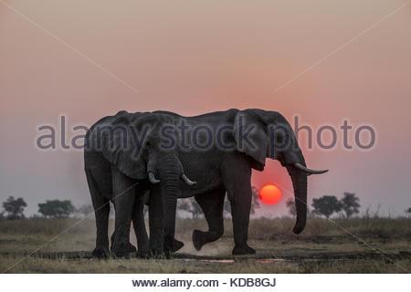 A pair of Elephants, Loxodonta africana, dust themselves as the sun sets. - Stock Photo