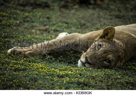 A young lion, Panthera leo, rests on flowering shrubs. - Stock Photo