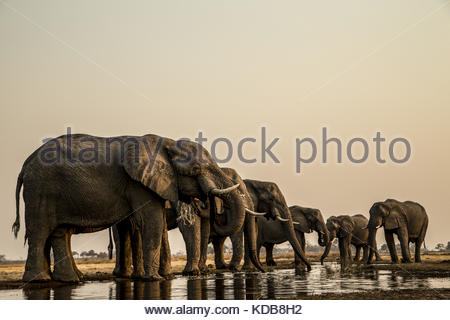 A herd of elephants, Loxodonta africana, drink from a spillway. - Stock Photo