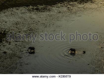 Elephants, Loxodonta africana, crossing a spillway at sunset. - Stock Photo