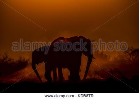 Two elephants, Loxodonta africana, dusting as the sun sets. - Stock Photo