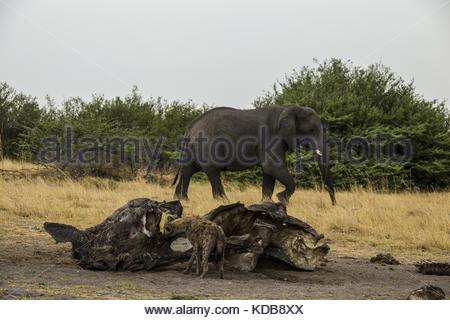 A Spotted Hyena, Crocuta crocuta, eats from a old and dry elephant, Loxodonta africana, carcass. - Stock Photo