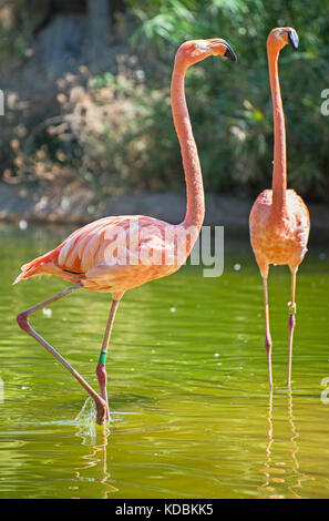 Pink flamingos in the pond. Phoenicopterus ruber. - Stock Photo