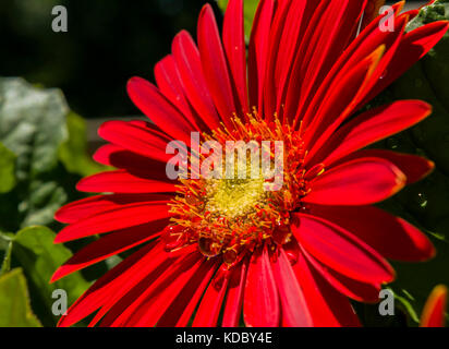 Red Gerber Daisy with water droplets - Stock Photo
