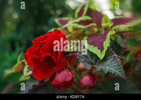 A scarlet mocca begonia, surrounded by watermelon coleus. - Stock Photo