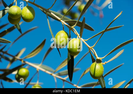 Olives on an olive tree blue sky background, Antequera. Málaga province, Andalusia. Southern Spain Europe - Stock Photo