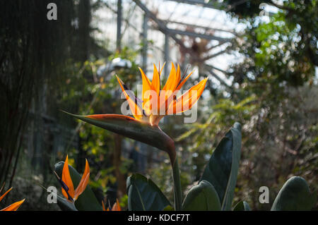 Strelitzia Reginae, or Bird Of Paradise plant in bloom in the hothouse of the Hortus Botanicus in Amsterdam, The - Stock Photo