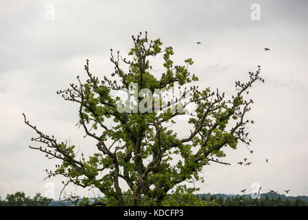 Flock of Starlings - Migrating Birds on tree - Stock Photo