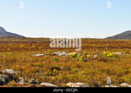 Fynbos Vegetation and wild zebra on the Cape Peninsula, near Cape Town, South Africa - Stock Photo