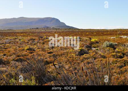 Fynbos Vegetation on the Cape Peninsula, near Cape Town, South Africa - Stock Photo