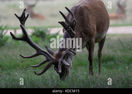 Stag Deer Grazing in Richmond park London England United Kingdom. - Stock Photo