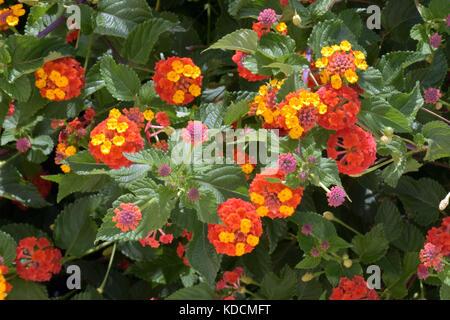 Lantana camara shrub, clusters of yellow / orange flowers, green leaves Mountain sage big-sage, wild-sage, red-sage, - Stock Photo