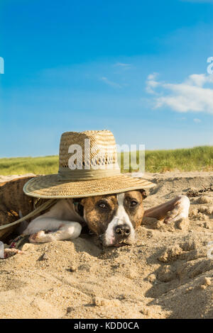A cute dog laying on the beat at Cape Cod Massachusetts. - Stock Photo