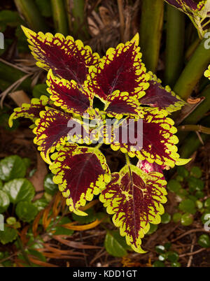 Colourful dark red and yellow variegated foliage of coleus, Solenostemon cultivar 'Carnival' - Stock Photo