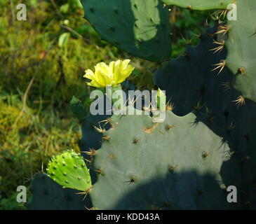 A yellow flower blossoming on a prickly pear cactus, Opuntia Robusta - Stock Photo