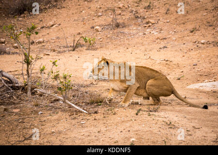 Lioness Hunting in Kruger National Park, South Africa, Africa - Stock Photo