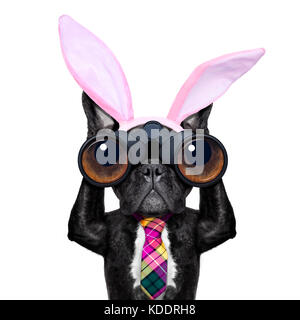 binoculars french bulldog dog with  easter  bunny ears ,isolated on white background - Stock Photo