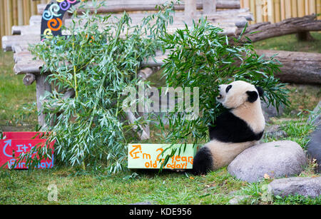 Toronto, Oct. 13. 13th Oct, 2015. Two-year-old giant panda Jia Panpan eats bamboo during its 2nd birthday celebration - Stock Photo