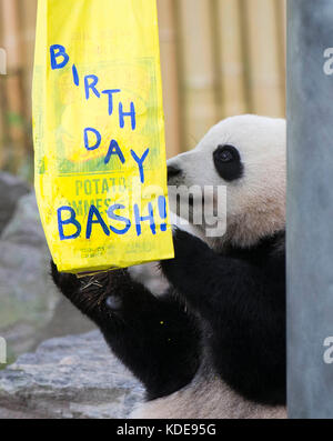 Toronto, Oct. 13. 13th Oct, 2015. Two-year-old giant panda Jia Panpan looks for food during its 2nd birthday celebration - Stock Photo