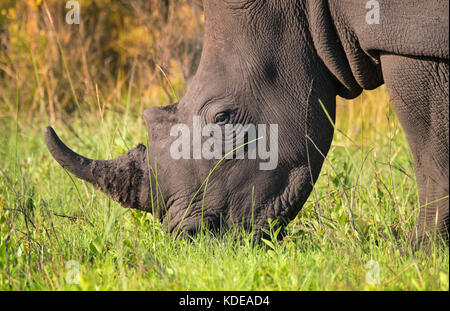Closeup of lone male white rhino feeding in the South African bush - Stock Photo
